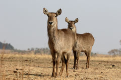 Waterbuck, Kobus ellipsipymaus royalty free stock image
