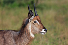 Waterbuck. In the Krueger National Park in South Africa Royalty Free Stock Images