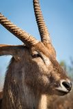 Waterbuck. In Kruger National Park, South Africa Stock Images