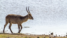 Waterbuck in Kruger National park, South Africa stock photography