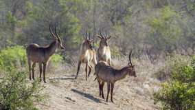 Waterbuck in Kruger National park, South Africa royalty free stock photos