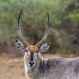 Waterbuck in Kruger National park, South Africa royalty free stock photography