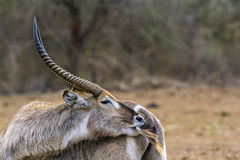 Waterbuck in Kruger National park, South Africa Stock Photos