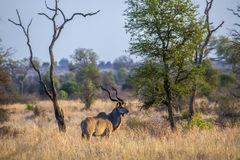 Waterbuck in Kruger National park stock photo