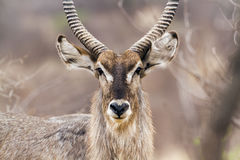 Waterbuck in Kruger National park royalty free stock image