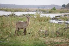 Waterbuck in Kruger National Park. Waterbuck on the background of Mphongolo River at the dry season in Kruger National Park, South Africa Royalty Free Stock Photography