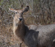 Waterbuck, Kruger Park, South Africa Stock Photography