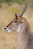 Waterbuck, Kruger Park, Zuid-Afrika Stock Foto