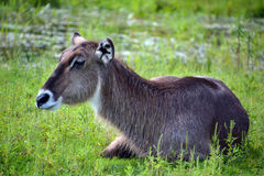 The waterbuck. Is a large antelope found widely in sub-Saharan Africa. It is placed in the genus Kobus of the family Bovidae Stock Photography