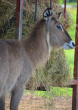 The waterbuck. Is a large antelope found widely in sub-Saharan Africa. It is placed in the genus Kobus of the family Bovidae Royalty Free Stock Photo