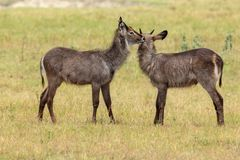Two young Waterbucks grooming each other. The waterbuck is a large antelope found widely in sub-Saharan Africa. It is placed in the genus Kobus of the family Royalty Free Stock Photography