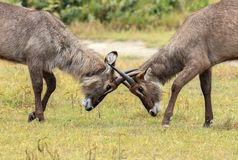 Two young Waterbucks mock fighting. The waterbuck is a large antelope found widely in sub-Saharan Africa. It is placed in the genus Kobus of the family Bovidae Royalty Free Stock Photo