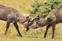 Two young Waterbucks mock fighting. The waterbuck is a large antelope found widely in sub-Saharan Africa. It is placed in the genus Kobus of the family Bovidae Stock Photography