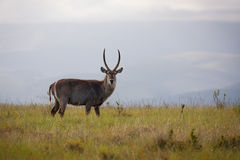 Waterbuck. A large male waterbuck antelope grazing in the savannah grassland Stock Photography