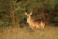 Waterbuck in late afternoon light Stock Image