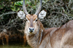 Waterbuck Looking at YOU. Kragga Kamma Game Park in Port Elizabeth lush coastal forest and grassland is home to vast herds of African game royalty free stock image