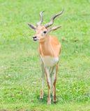 Waterbuck lub Thompson gazela Fotografia Stock