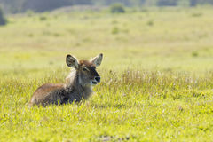 Waterbuck lying in short grass Royalty Free Stock Image