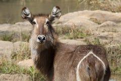 Waterbuck Madikwe lekreserv Arkivfoto