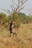 Waterbuck male in Africa wild nature forest. Waterbuck Kobus ellipsiprymnus wild antelope deer male with horn in Africa savannah nature. Safari game wild nature Royalty Free Stock Image