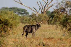 Waterbuck male in Africa wild nature forest. Waterbuck Kobus ellipsiprymnus wild antelope deer male with horn in Africa savannah nature. Safari game wild nature Stock Photos