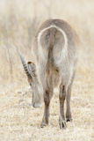 Waterbuck male behind. Waterbuck Kobus ellipsiprymnus male, seen from behind, Kruger National Park, South Africa Royalty Free Stock Photo
