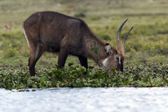 Waterbuck male Stock Image