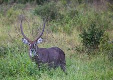 Waterbuck male at the Kruger National Park stock photos