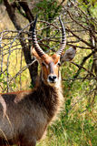 Waterbuck male in Kruger National park, South Africa. Close-up portrait of waterbuck male with long horns in Kruger National park. Wild nature. Autumn in South Stock Photos