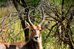 Waterbuck male in Kruger National Park. South Africa. Waterbuck male with long horns in Kruger National park. Wild nature. Autumn in South Africa Stock Image