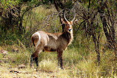 Waterbuck male with long horns in Kruger National park. Autumn. Large antelope waterbuck (Kobus ellipsiprymnus) male with long horns in Kruger Royalty Free Stock Images