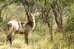 Waterbuck male with long horns in Kruger National Park. South Africa. Waterbuck (Kobus ellipsipymaus) male with long horns in Kruger National park Stock Image