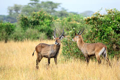 Waterbuck males. Uganda. Adult males of Waterbuck at Queen Elizabeth National Park. Early morning Stock Images