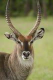 Waterbuck in Masai Mara, Kenia Stock Afbeeldingen