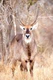 Waterbuck maschio (ellipsiprymnus del Kobus) Fotografie Stock
