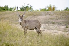 Waterbuck masculin africain montrant  image stock