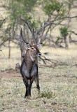Waterbuck masculino Imagen de archivo libre de regalías