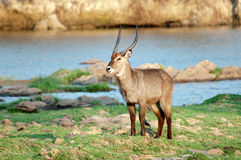 Waterbuck masculino que levanta na borda das águas Imagem de Stock Royalty Free