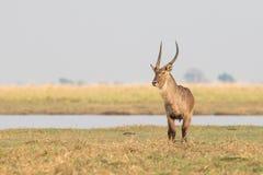 Waterbuck masculino solitario Imagenes de archivo
