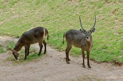 Waterbuck. On the Meadow Royalty Free Stock Photo