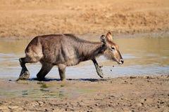 Waterbuck in modder Royalty-vrije Stock Afbeeldingen