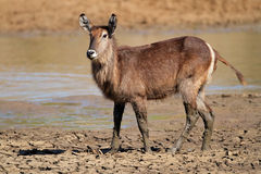 Waterbuck in mud Stock Image