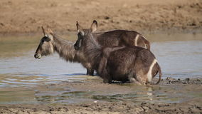 Waterbuck in mud stock video