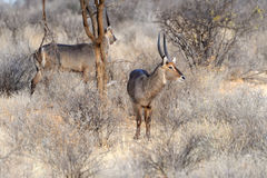 Waterbuck. In the National Reserve of Africa, Kenya Royalty Free Stock Image