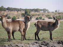 Waterbuck in Nationalpark Chobe lizenzfreies stockbild