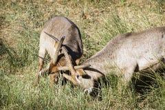 Waterbuck in Nationalpark Kruger Lizenzfreie Stockfotos