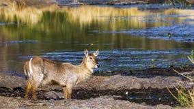 Waterbuck in Nationalpark Kruger Lizenzfreies Stockfoto