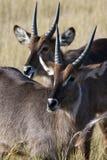 Waterbuck in the Okavango Delta in Botswana. Waterbuck (Kobus ellipsiprymnus) in the Okavango Delta in Botswana royalty free stock image