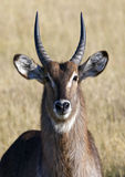Waterbuck - Okavango Delta - Botswana. A male Waterbuck (Kobus ellipsiprymnus) in the Okavango Delta in Botswana Stock Photo