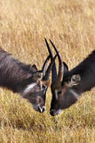 Waterbuck - Okavango Delta - Botswana. Two yong male Waterbuck (Kobus ellipsiprymnus) inthe Xakanaxa region of the Okavango Delta in Botswana Royalty Free Stock Photo